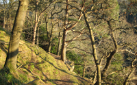 Trees at Roslin Glen.